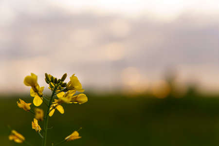 summer, nature, spring, freshness - background of fresh wild field beautiful natural flower plant on spring green evening meadow. yellow blooming rapeseed seeds on grey sky sunset garden summertime