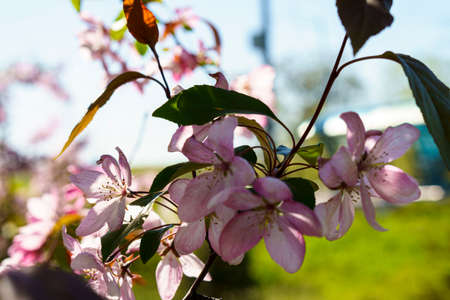Soft focus Close-Up of bouquet of pink apple blossom on tree on sunset copy space. Green Summer Grass Meadow With Bright Sunlight. Sunny Spring Background. nature, ecology, farming, wildlife concept Stockfoto