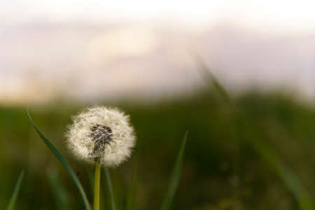 summer, nature, spring, freshness - background of fresh wild field beautiful natural flower plant on spring green evening meadow. white fluffy dandelions on fond of grey sky sunset garden summertime