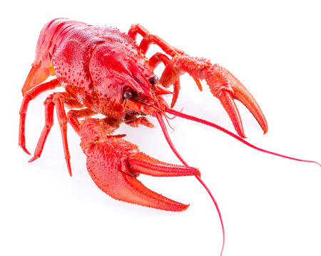 crustacea: a red crayfish isolated on white, close-up, macro