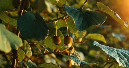 Kiwi on the farm photographed in the sunset time with leafs and kiwi blurred in background