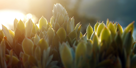 Agave succulent on the sunset time on the farm. Stock Photo