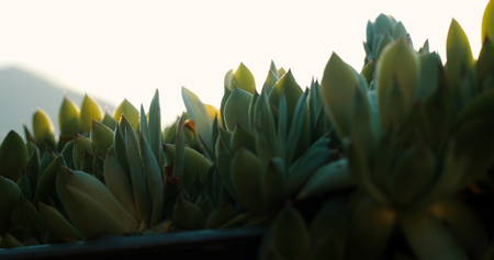 Agave in the sunset time closeup