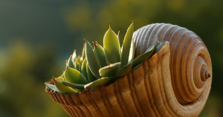 Succulent in the snail shell. Specific landscape design.  Stock Photo