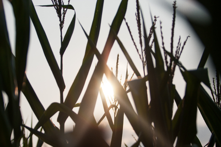 Large Cornfield with sunlight