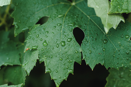 morning fresh drops of transparent rain water on a green leaf
