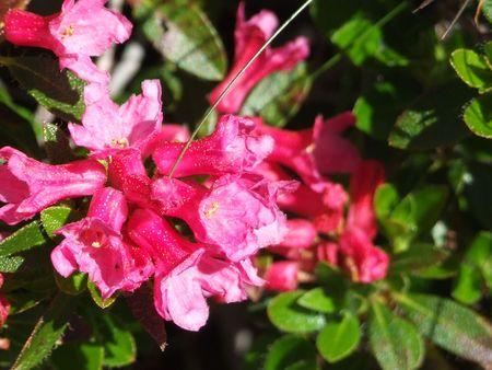 natur: 21 Fiore, Natura, Montagna, Berg, Blume, Natur, Alpine