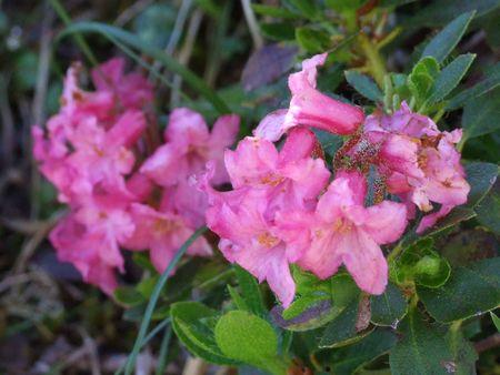 natur: 37 Flower, Nature, Mountain, Berg, Blume, Natur, Alpine