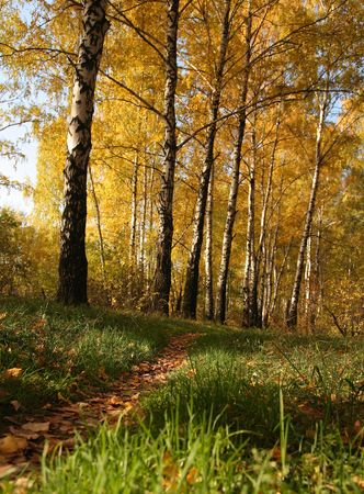 Birchwood in the early autumn.