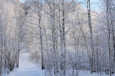 Birch wood in the winter. Stock Photo