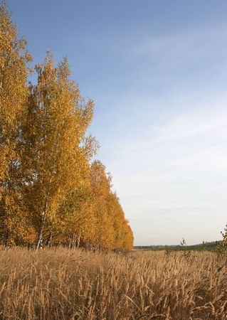 copse: Birch copse and field.