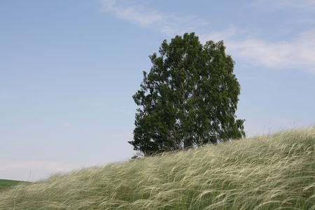 Birch and feather grass.  Stock Photo