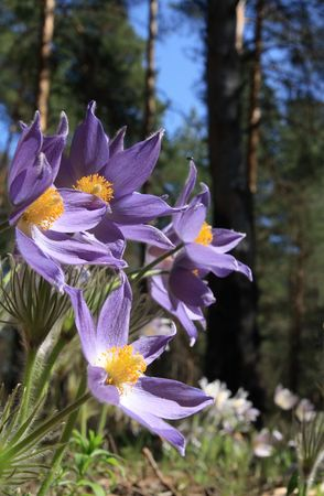 Pasque flower ( Pulsatilla patens ). Pine wood in the spring. Stock Photo