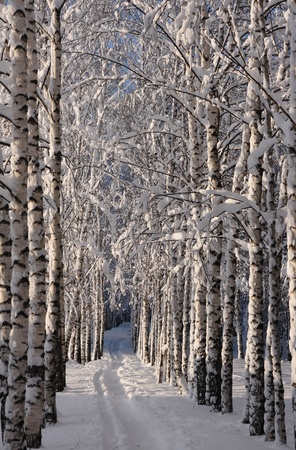 Snow covered birch lane.