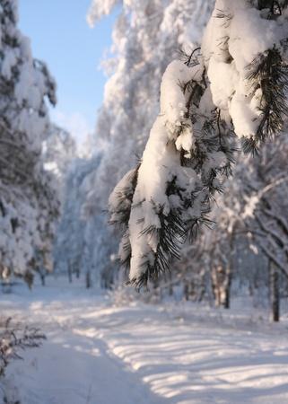 Snow covered fir branch.