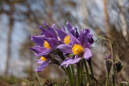 Pasque flower  Stock Photo