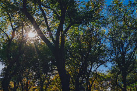Upward view of sun shining through canopy of trees in autumn, in Central Park of New York City, USA