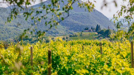 View of house on hills among rows of grapevines in vineyard near Padua, Italy 版權商用圖片