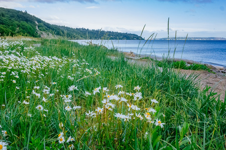 View of white flowers by the sea in Discovery Park of Seattle, USA