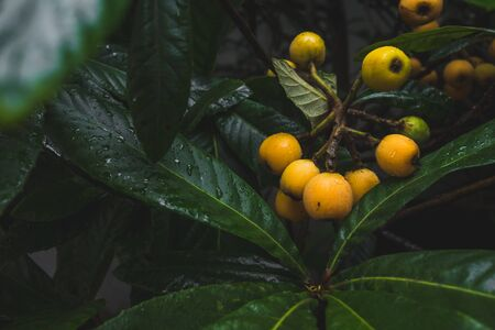 Close up of ripe loquat fruits on branches  between dark green leaves with rain drops Stock Photo
