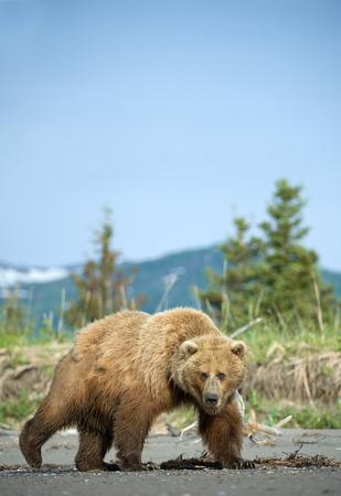 grizzly: Grizzli sur la plage
