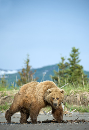 Grizzly bear on the beach photo