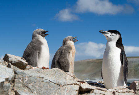 penguin colony: Chinstrap penguin with two young