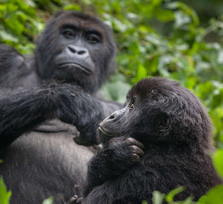 Mother and baby Gorillas in wilderness national park Democratic Republic of Congo green forest Foto de archivo