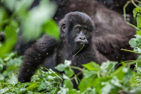 baby gorilla portrait in Congo rainforest. Virunga national park Foto de archivo