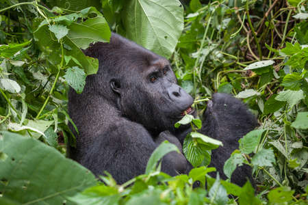 Gorilla in wilderness national park Democratic Republic of Congo green forest Archivio Fotografico