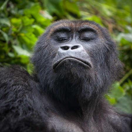Gorilla in wilderness Democratic Republic of Congo Foto de archivo