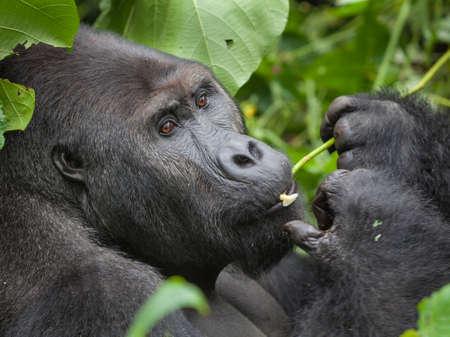 Gorilla in wilderness Democratic Republic of Congo