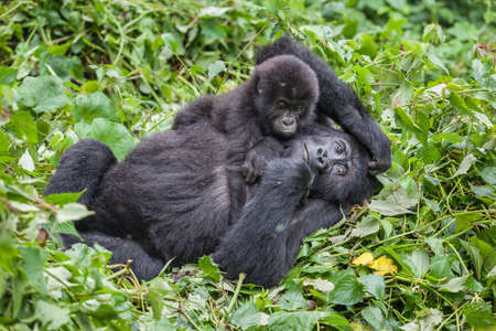 Mother and baby Gorillas playing in wilderness national park Democratic Republic of Congo green forest Stock Photo
