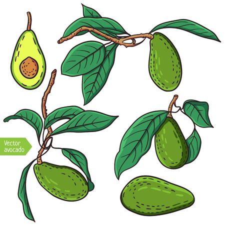 tropical fruit: Vector avocado fruit illustration. Isolated ripe tropical fruit with leaves.