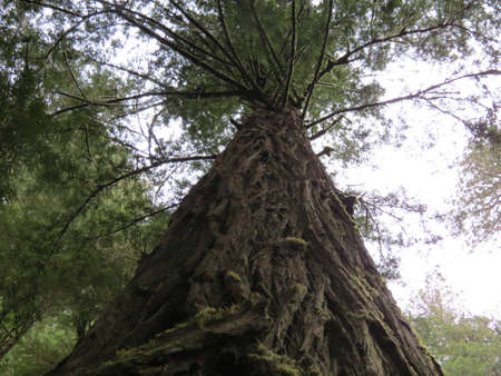 Giant Redwood Tree photo