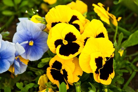 Close-up of beautiful yellow and blue pansy flowers photo