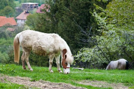 gelding: Mud covered gray gelding standing in a pasture eating