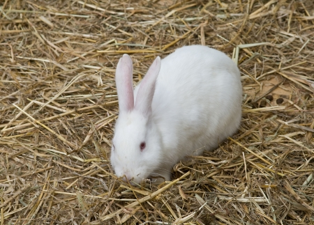 the hutch: single rabbit standing on dry grass