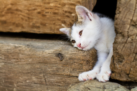 White kitten is getting out through a hole in the wooden walls photo
