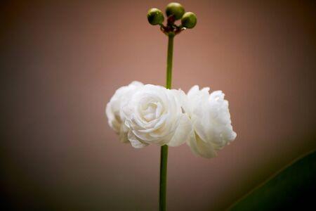 Closeup white flower of natural background on dark green background