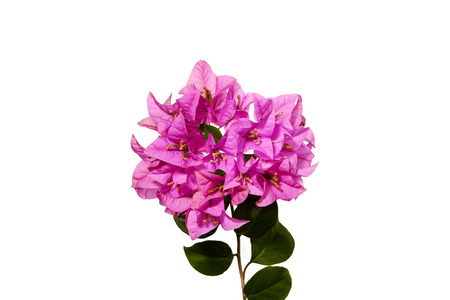 Pink blooming bougainvilleas Flower isolate on white background