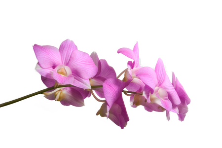 pink purple Vanda Orchid isolated on white background