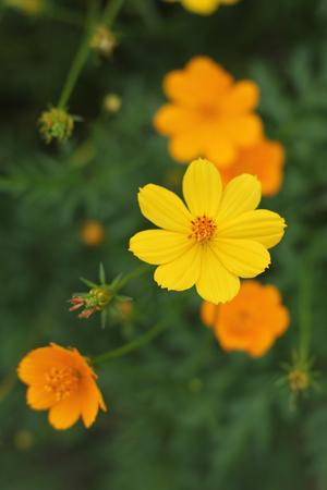 Orange flowers orange flower close-up on green background on garden background