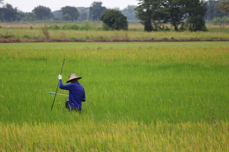 Farming season during the months of June - August of this year. in the central region of Thailand. The farmer health check of the rice before the fruit production. 스톡 콘텐츠