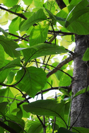 A big tree with large green leaves, large teak trees.