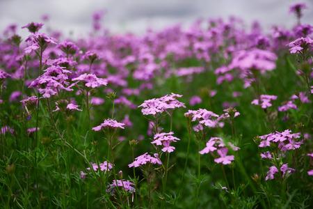A beautiful flower. Flower garden. A lot of flowers purple flowers 스톡 콘텐츠