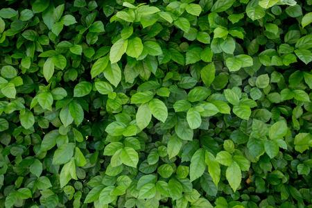 緑の葉の背景テクスチャ 写真素材 - 82421176