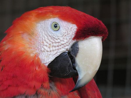 scarlet: Head of Scarlet Macaw Stock Photo