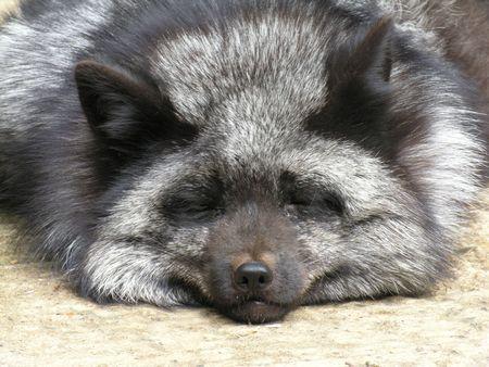 silver fox: Silver Fox Stock Photo