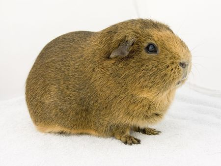 A brown agouti guinea pig on a white background
